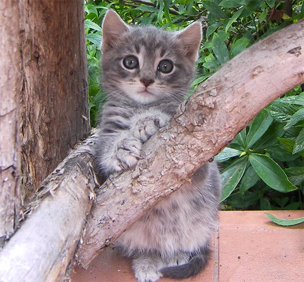 fluffy light gray cat - photo #12
